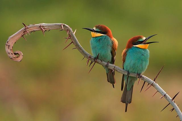ptička