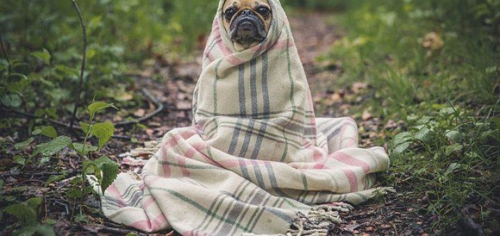 pes v odeji